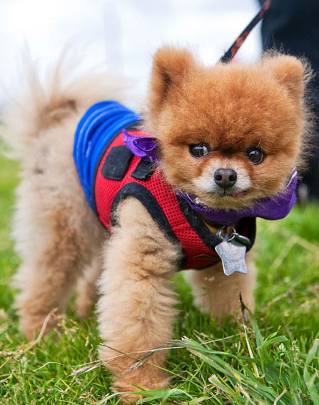 Pomeranian | San Francisco Dog Photographer