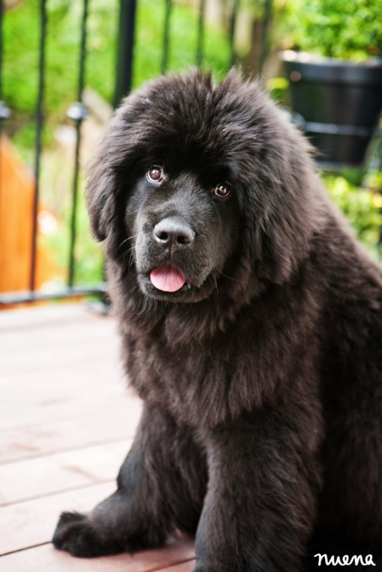 San Francisco Dog Photographer - Newfoundland Puppy | Nuena Photography