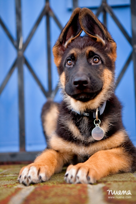 Bay Area Pet Photographer - German Shepherd Puppy | Nuena Photography