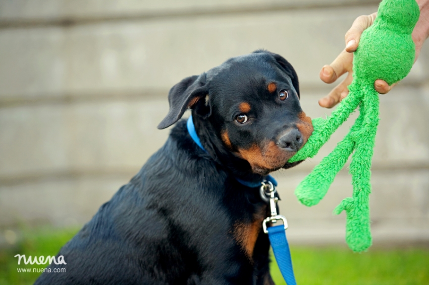 Bay Area Pet Photographer - Rottweiler Puppy | Nuena Photography