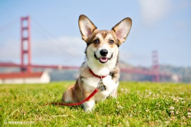 Donut the Corgi | Nuena Photography