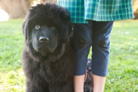 Tessa the Newfoundland Puppy | Nuena Photography