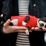Harley the Boston Terrier Puppy | Nuena Photography