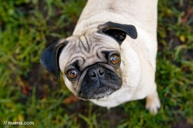 Kira the Pug | Nuena Photography