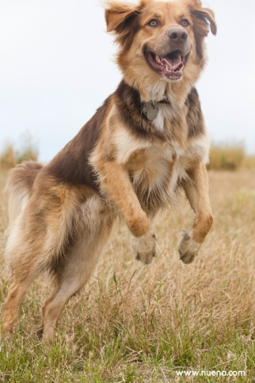 Grizzly the Australian Shepherd Mix | Nuena Photography