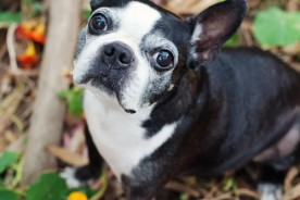 San Francisco Pet Photographer | Chelsea the Boston Terrier | Nuena Photography