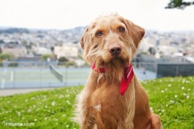 Cricket the Wirehaired Vizsla | Nuena Photography | San Francisco Pet Photographer