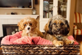 Posey + Lily the CavaPoo Puppies | Nuena Photography | San Francisco Pet Photographer