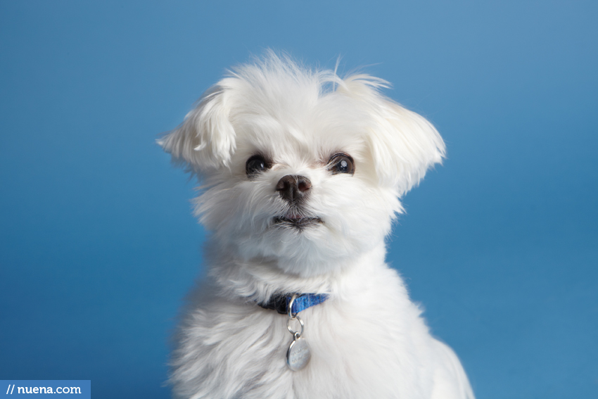 Foster City Dog Photographer - Maltese | Nuena Pet Photography