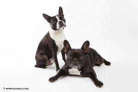 San Francisco Studio Pet Photographer | Boston Terrier + French Bulldog | Nuena Photography
