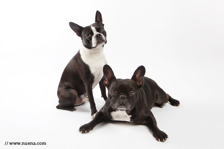 Harley's Frenchies http://nuena.com/2012/03/05/daily-dog-harley-and-finn-2/