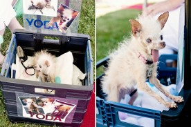 The World's Ugliest Dog 2011 - Yoda | Nuena Photography