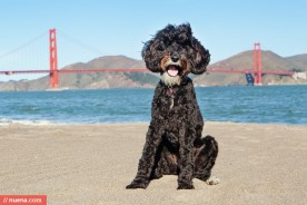 San Francisco Dog Photographer - Labradoodle | Nuena Pet Photography
