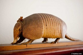 Taxidermy Armadillo - Houston, TX | Nuena Animal Photography