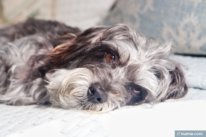 San Francisco Dog Photographer - Mini Schnauzer Mix | Nuena Photography