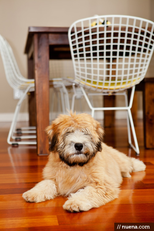 San Francisco Dog Photographer - Rigby the Wheaten Terrier | Nuena Photography