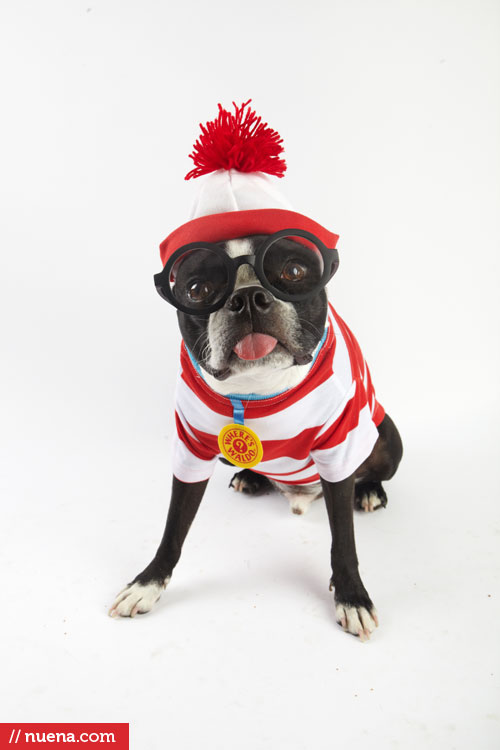 Harley the Boston Terrier - Nuena Photography by Kira Stackhouse