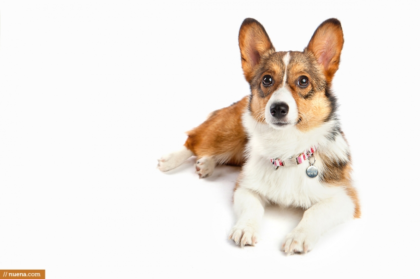 Corgi Puppy - London | Nuena Pet Photography