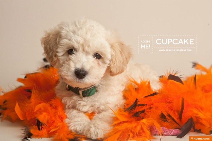 Berkeley Humane Society - Toy Poodle Puppy | Nuena Pet Photography