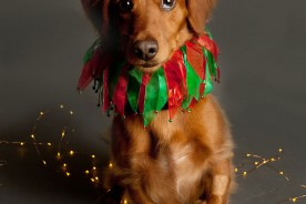 Holiday Dog Portrait | Nuena Photography by Kira Stackhouse