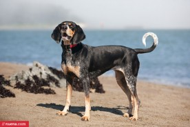 Daily Dog - Bluetick Coonhound | Best Pet Photographer Bay Area | Nuena Photography