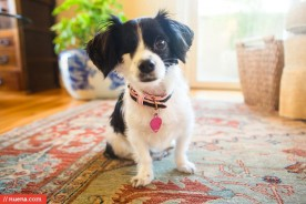 Oakland Dog Photographer - Papillon Mix | Kira Stackhouse