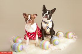 Professional Dog Photographer - Easter Boston Terrier | Kira Stackhouse