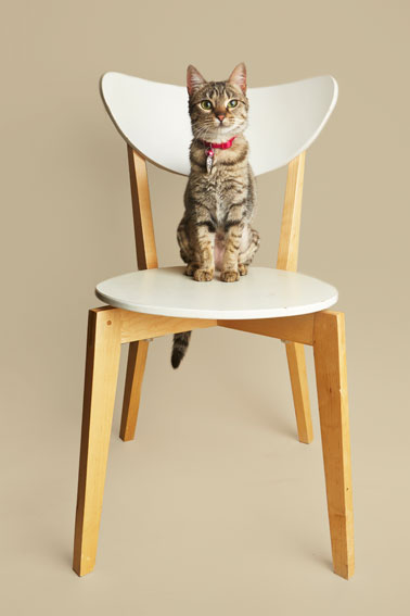 Best Pet Photographer - Cats on Chairs | Nuena Photography by Kira Stackhouse