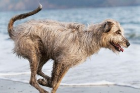 Daily Dog - Bronte the Irish Wolfhound | Nuena Photography by Kira Stackhouse