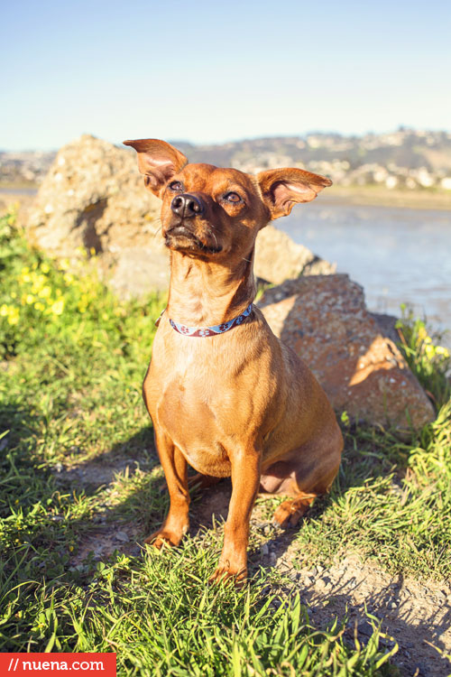Murf the Chihuahua Dachshund Mix - Point Isabel Dog Park | Nuena Photography