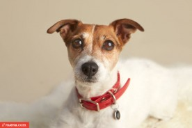 San Francisco Dog Photographer - Rat Terrier | Nuena Photography by Kira Stackhouse